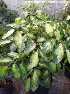 """Aralia guilfoylei (Polyscias guilfoylei """"variegata"""")"""