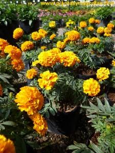 Tagetes, Rosa de la India (Tagetes erecta)
