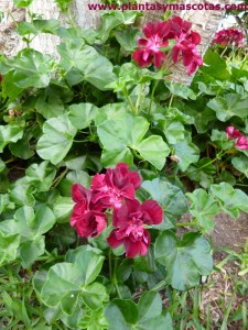 "Gitanilla, Geranio hiedra, Hiedra, Murciana (Pelargonium peltatum ""Black magic"")"