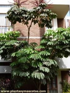 Chiflera gigante, Cheflera gigante, Árbol paráguas (Schefflera actinophylla)