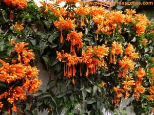 Bignonia de invierno, Trompetero naranja, Liana de llama (Pyrostegia ignea)