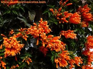 Bignonia de invierno, Trompetero naranja (Pyrostegia venusta)
