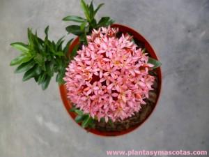 """Ixora enana (Ixora coccinea """"compacta"""") - Flor"""