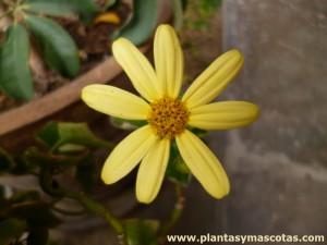 Hiedra, Yedra (Hereda helix) - Flor