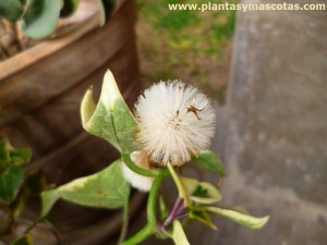 Hiedra, Yedra (Hereda helix) - Semillas