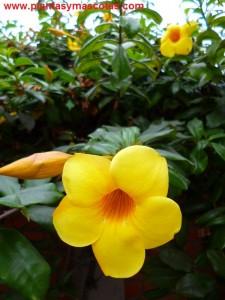 Copa de oro, Jazmín de cuba, Trompeta amarilla (Allamanda cathartica)