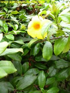 Alamanda, Trompeta de oro, Trompeta dorada (Allamanda cathartica)
