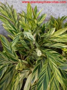 Azucena de porcelana, Alpinia (Alpinia zerumbet)