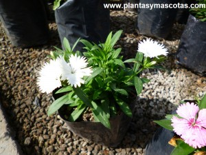 Clavelina de flores blancas, Dianthus Plumarius