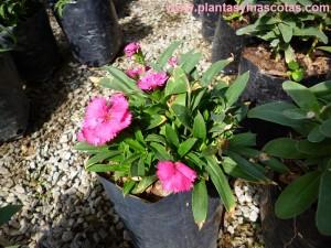 Clavelina de flores rosadas, Dianthus Plumarius