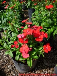 Clavelina de flores rojas, Dianthus Plumarius